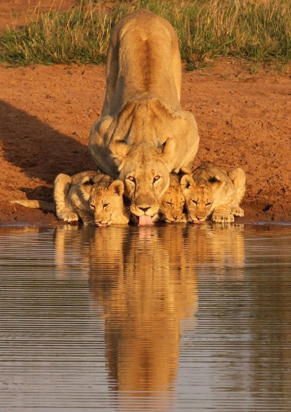 A lioness and her cubs at the watering hole.