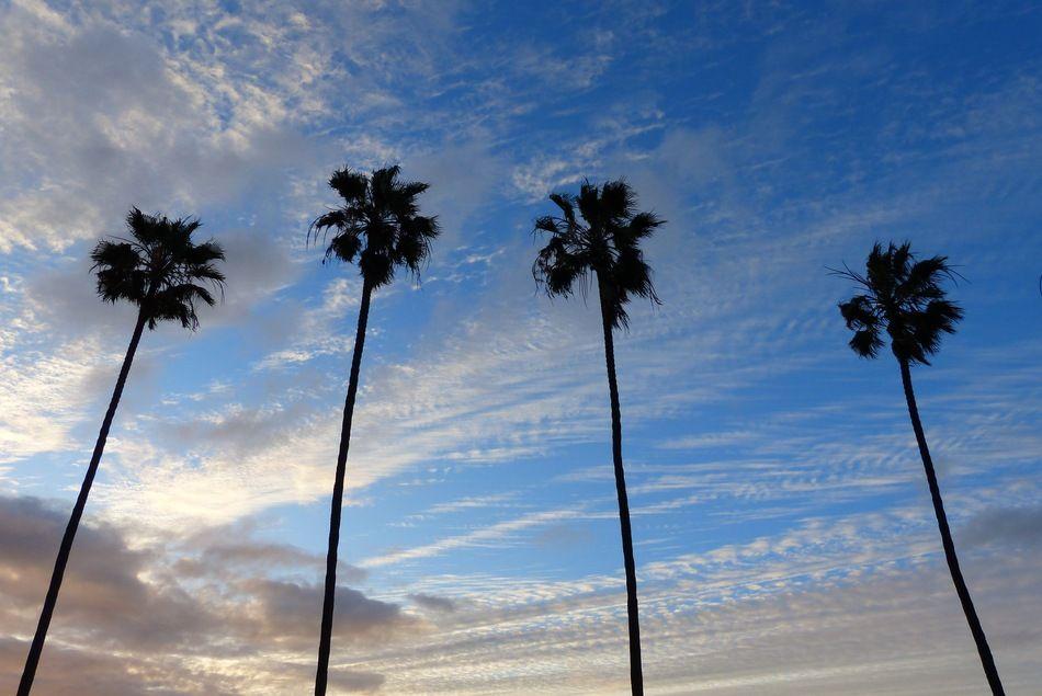 Kellog Park Palms (winter sky trees ). Photo by GVIslander