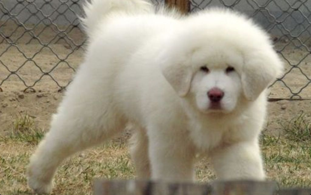 White Tibetan Mastiff Puppies For Sale - Goldenacresdogs com