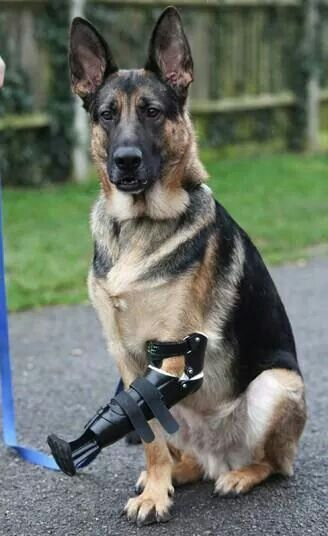 A Three Legged Rescue German Shepherd Dog Shadow Has Been Given Revolutionary New Prosthetic Paw After Its Fore Leg Was Almost Torn Off In Trap
