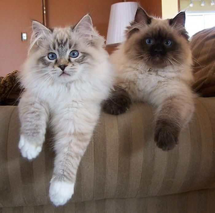 I Seriously Love Ragdoll Kittens Best Images Ideas About Ragdoll Kitten Most Affectionate Cat Breeds Tap The Lin Gattini Piccoli Gattini Adorabili Gattini