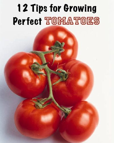 12 Tips for Growing Perfect Tomatoes…