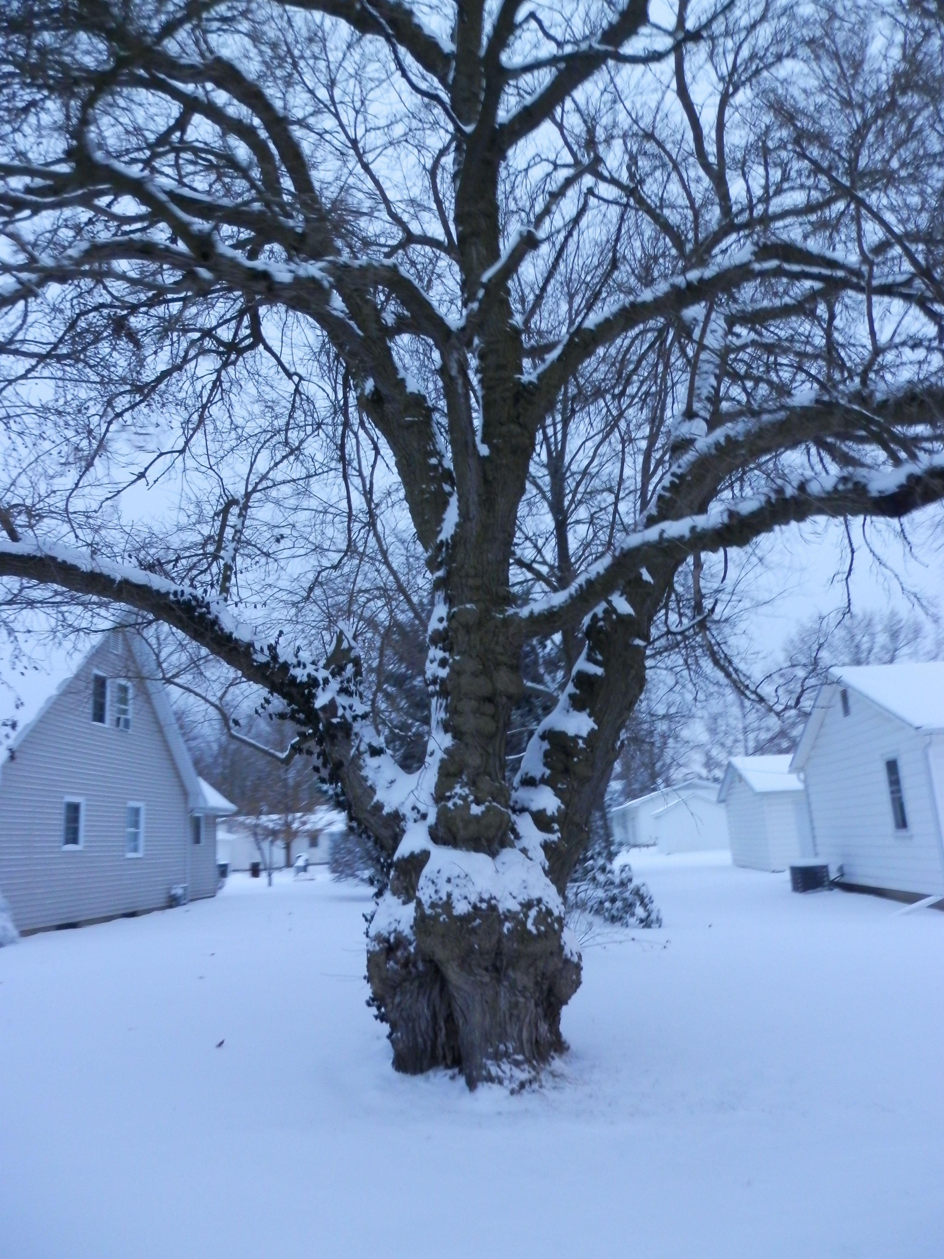 Old tree in a winter wonderland. Winter wonderland, Tree