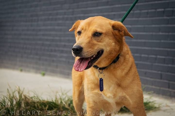 Daisy Fuentes Adopted Is An Approx 6 Year Old 40 Pound Lab Carolina Dog Mix She Joined Us With Her Longtime Badass B Animal Rescue Dog Mixes Dog Adoption