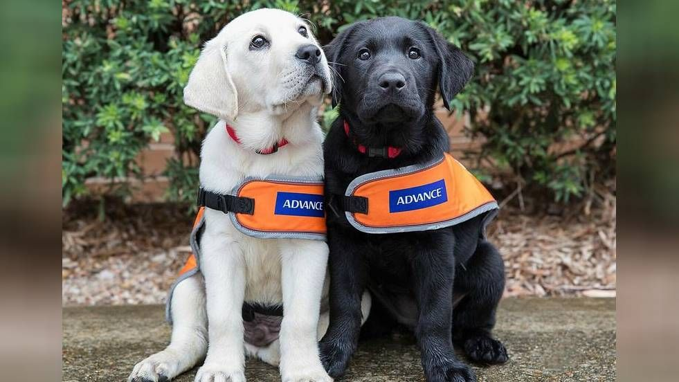 Guide Dogs Australia Needs Puppy Raisers To Provide Loving Homes
