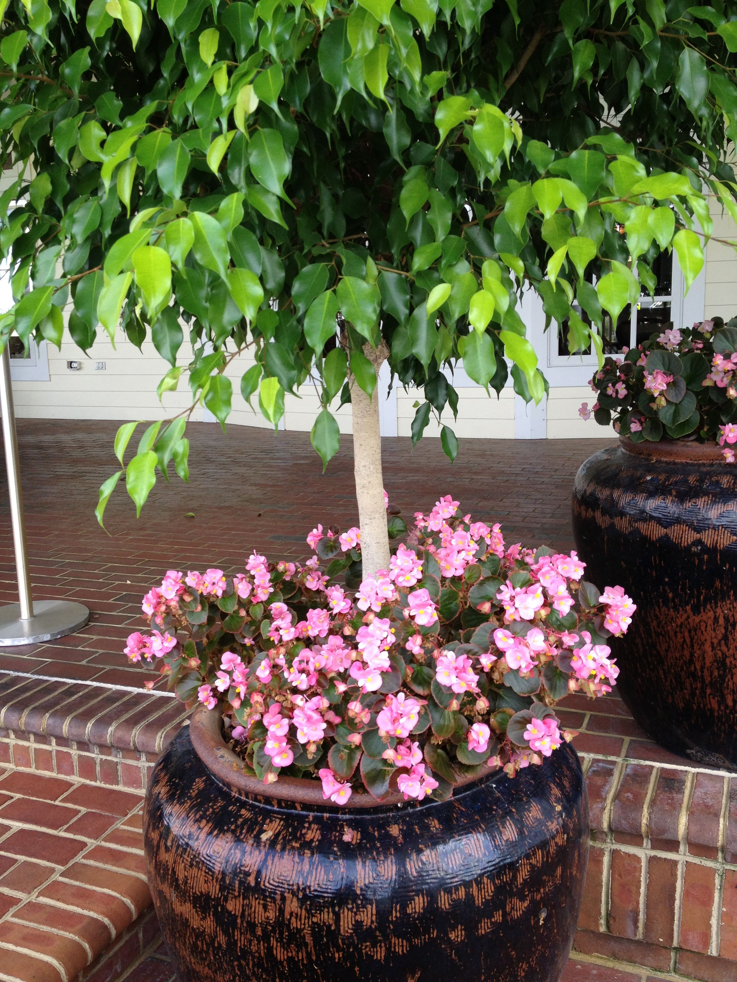 perfect for our patio large pot small tree flowers to