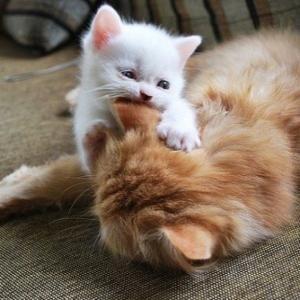 Gato revoltoso... #gatos #gatito #kitten by Mopar Mo