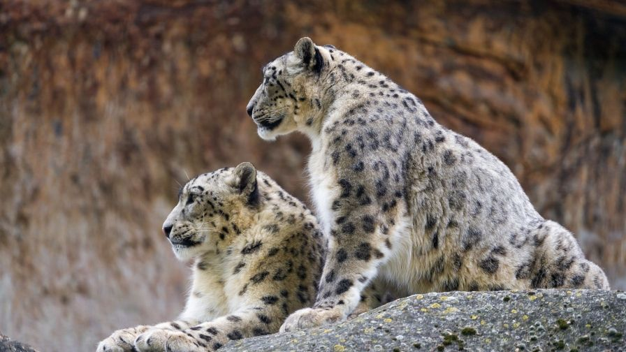 couple snow leopards hd wallpapers download | hd wallpapers