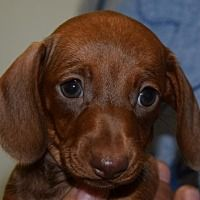 Pictures Of Eva Calhoun A Dachshund For Adoption In Seattle Wa