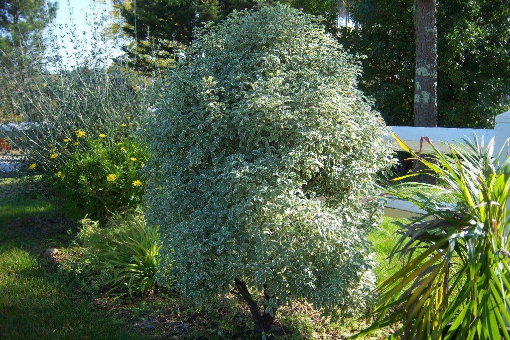 Pittosporum tenuifolium 39 variegatum 39 jardin pinterest for Arbre persistant pour petit jardin