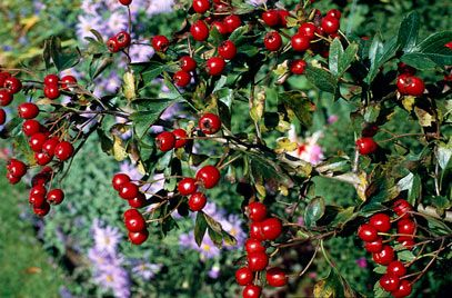 Crataegus monogyna hawthorn is a classic informal hedge plant with white flowers and spherical red fruits mightylinksfo