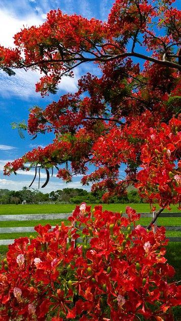 Royal Poinciana tree. Pantanal - Brazil