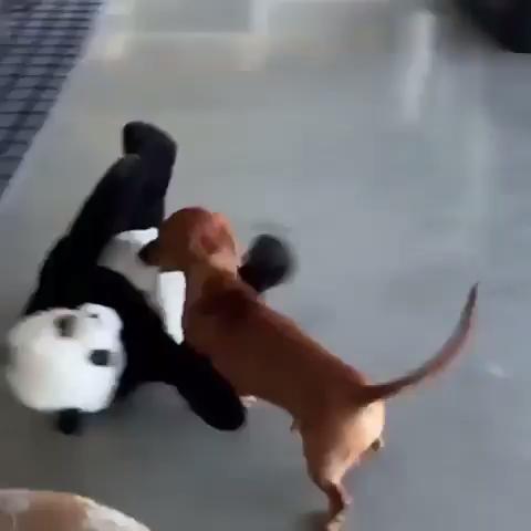 Dachshund Dog Toy Video Dackel Hund Lustige Dackel Lustige Tiere