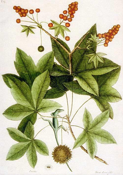Liquidambar Styraciflua Worplesdon American Sweet Gum Tree