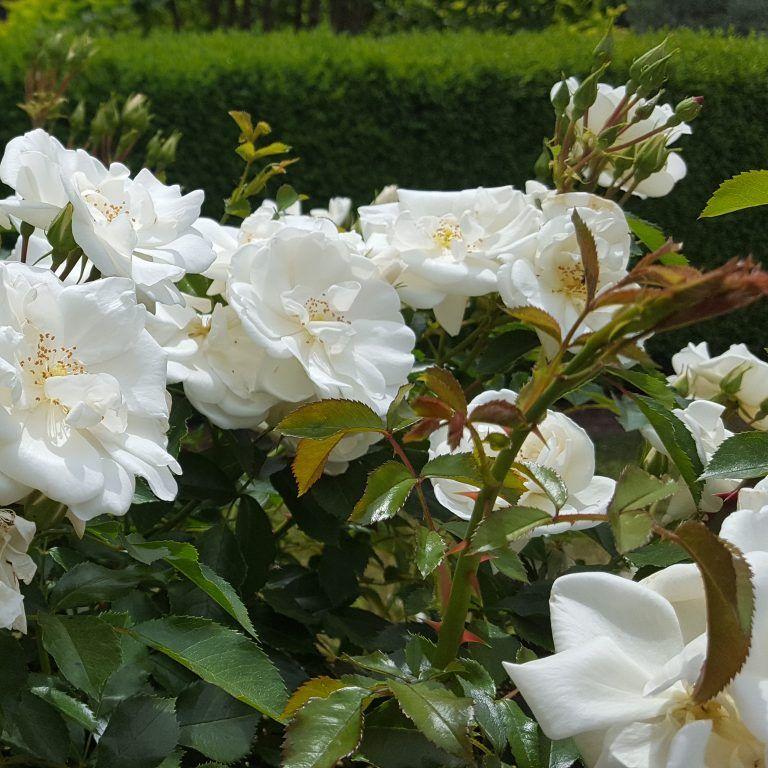 Flower carpet white rose gardening landscaping pinterest flower carpet white rose mightylinksfo