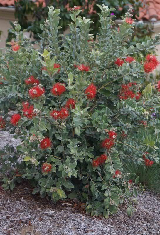 Meterosideros New Zealand Christmas Bush Plants Garden Ideas Nz