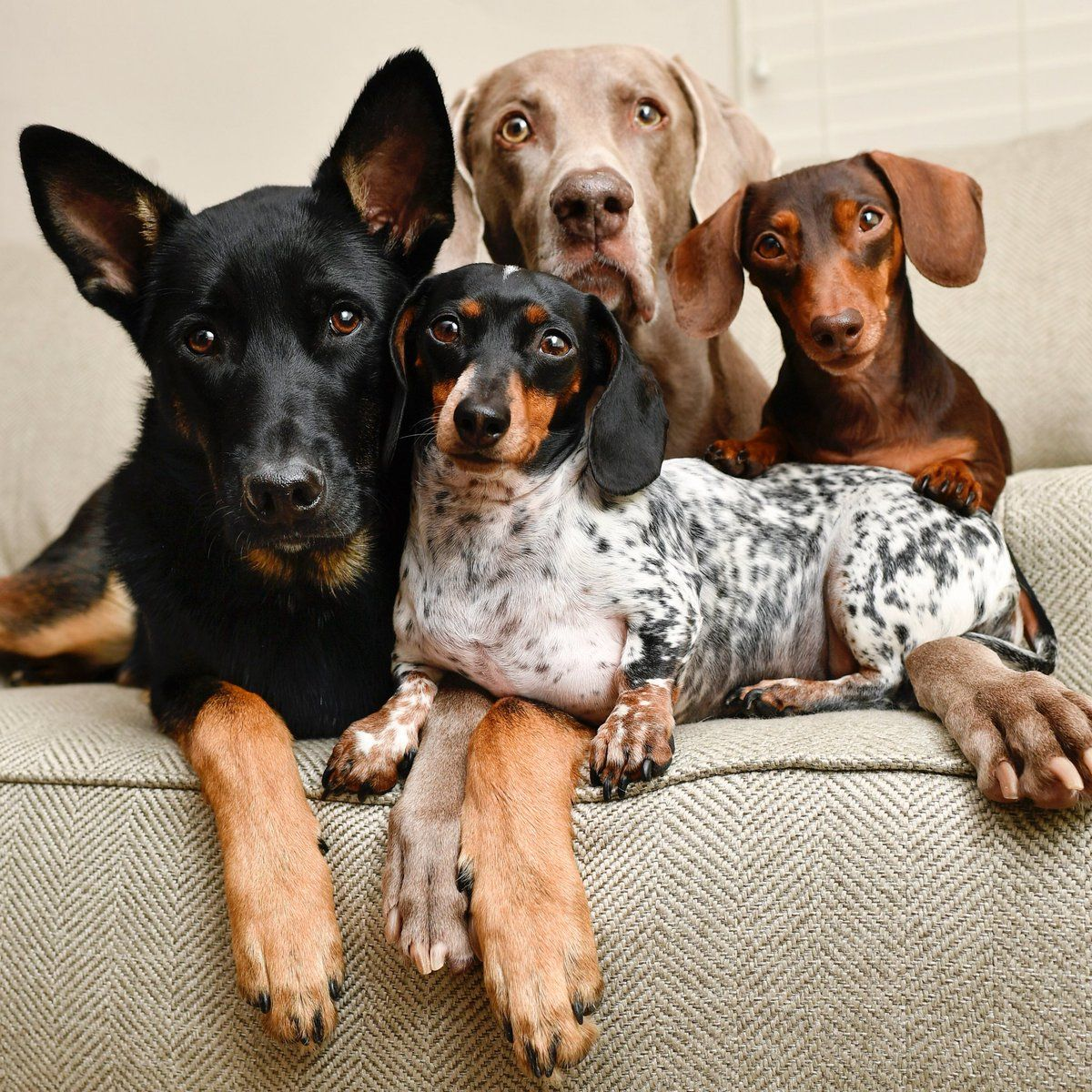 Family Portrait Dogs Dog Friends Dachshund Puppies