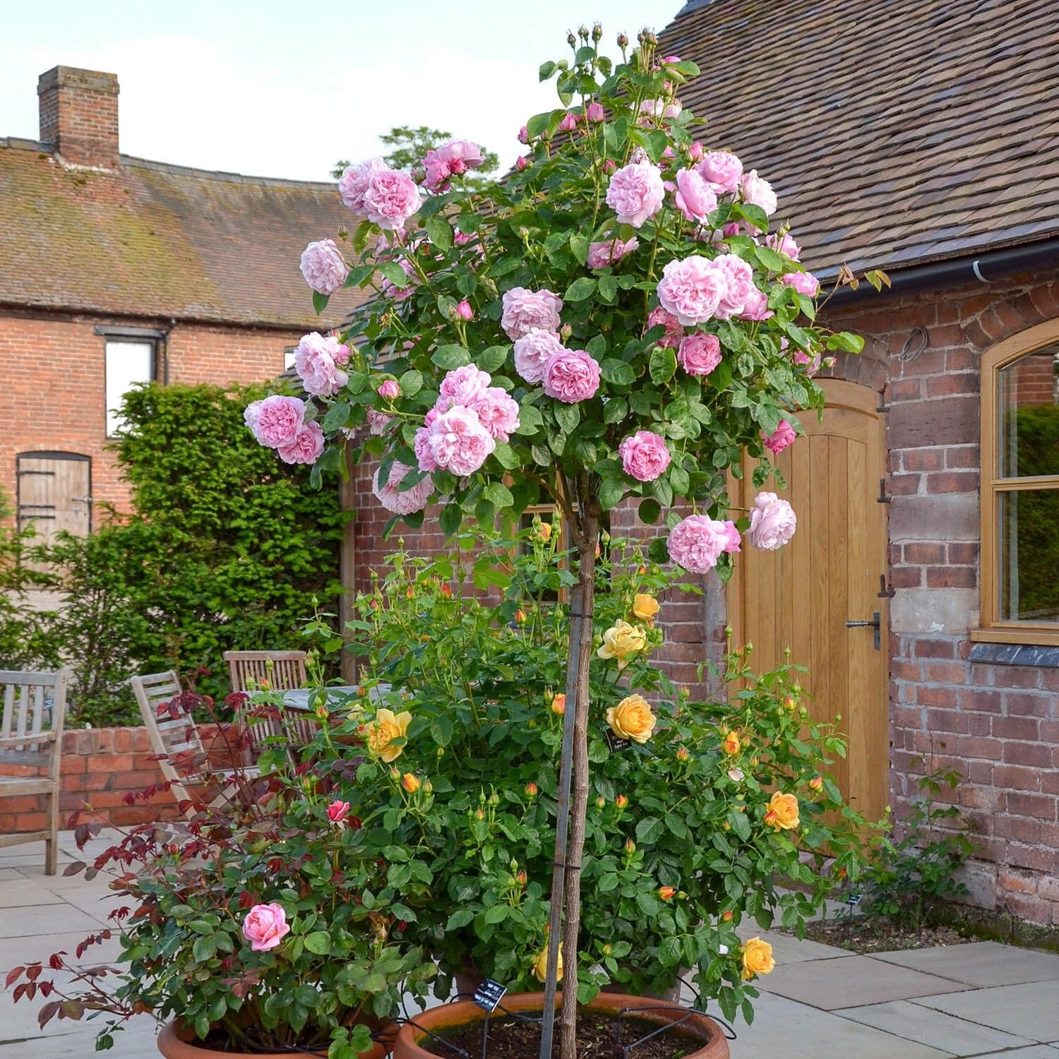 Mary Rose Repeat Flowering Popular Searches Rose Trees Rose Care Rose Hedge