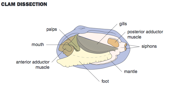 Biology Junction Clam Diagram Labeled Block And Schematic Diagrams