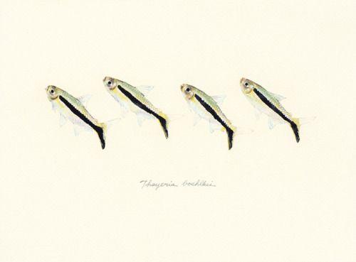 """Thayeria boehlkei / Penguin tetra / """"Santa Maria"""" (サンタマリア(ペンギンテトラ) Thayeria boehlkei : uonofu 魚の譜から)"""