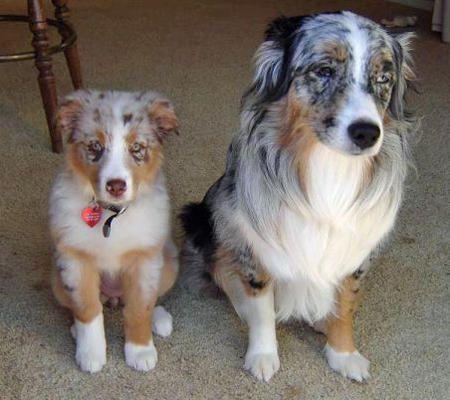 The Grown Up Aussie The Baby Just Like My Boyfriend S 5 Year Old Bailey Our Little Five Mo Australian Shepherd Dog Obsessed Australian Shepherd Blue Merle