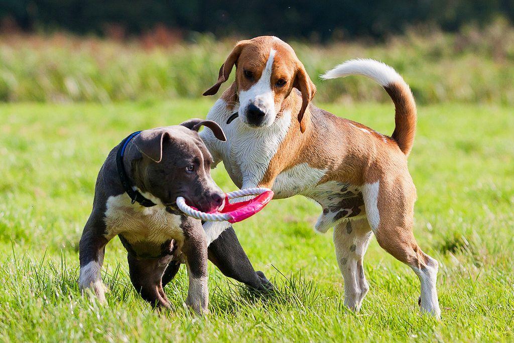 Собака бигль (фото): отличный охотник, озорной компаньон ...