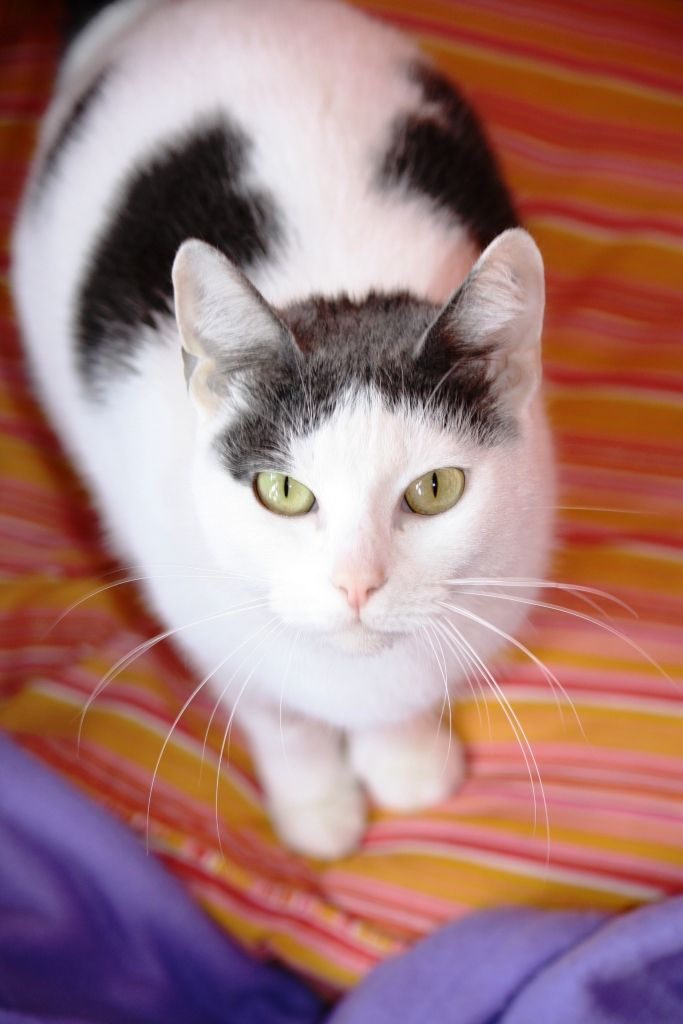 Hello I M Sasha A Most Lovable Cat I M Sweet And Affectionate And I Just Love Attention I Enjoy Being Petted And I Ll Purr When I Cats Cat Love Adoption