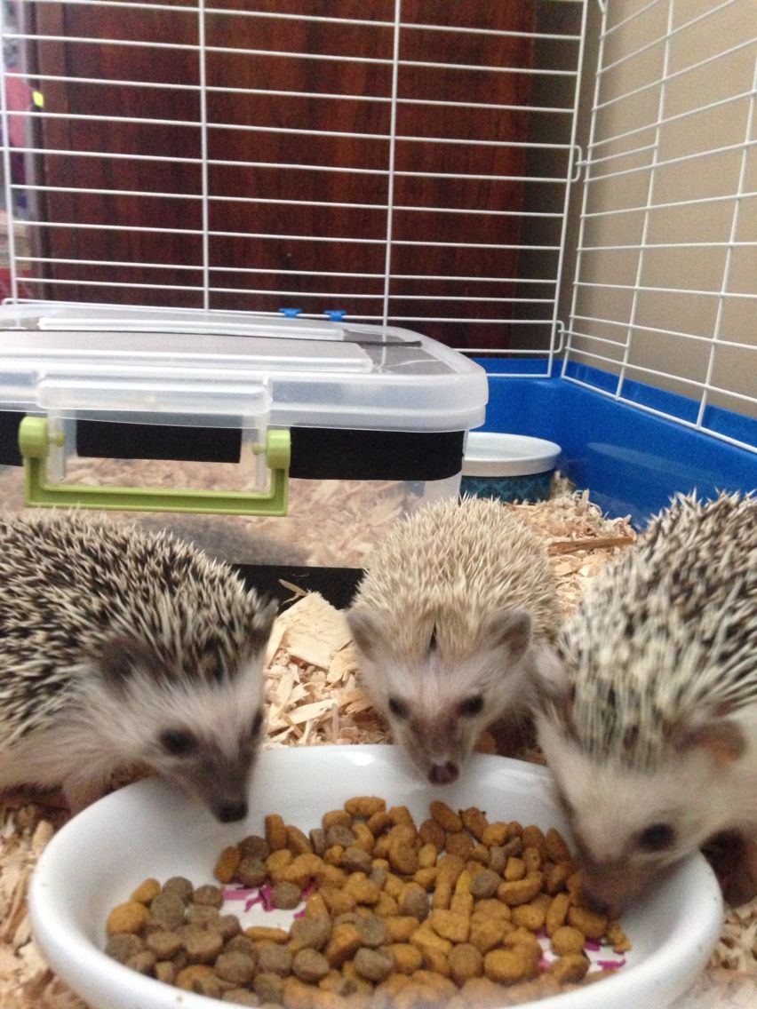 10 Reasons Why Hedgehogs Make The Best College Pets Cute Little Animals Cute Hedgehog Cute Animals