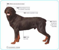 Difference between german rott and american rott