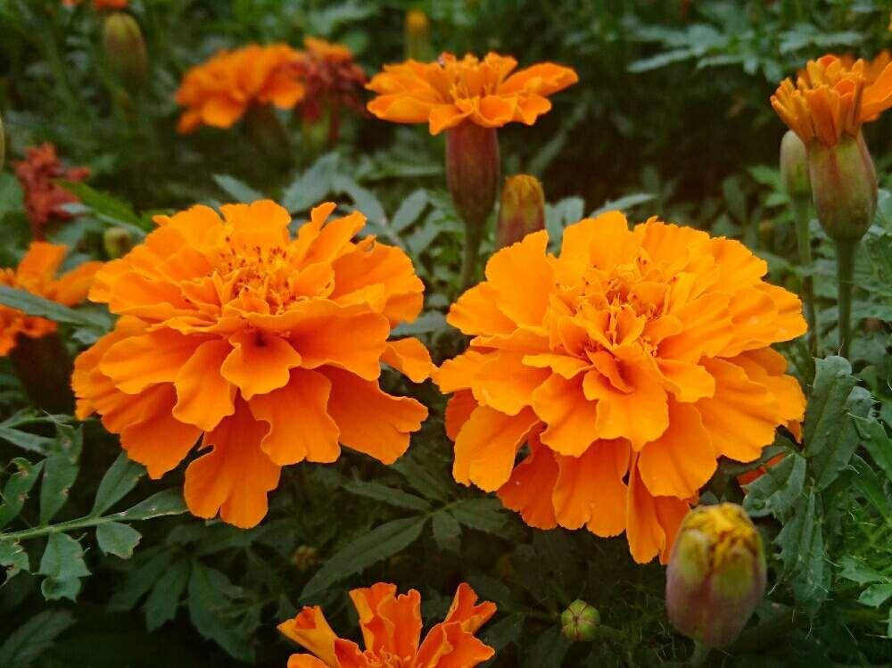 花のある暮らしの投稿画像 By Misaoiさん 山中湖 2019月8月8日 Greensnap グリーンスナップ 花の写真 植物 花 開花