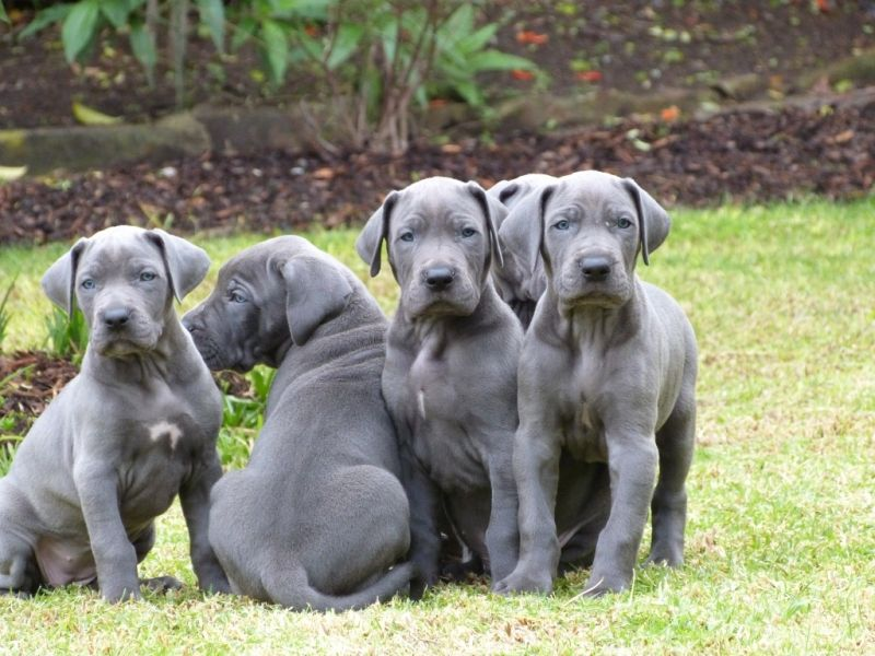 Great Dane Tallest Dog In The World Pictures Dane Puppies Great