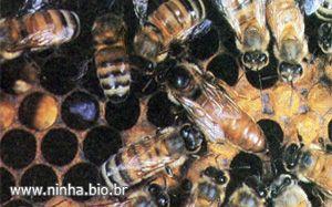 colméia de abelhas vista por dentro