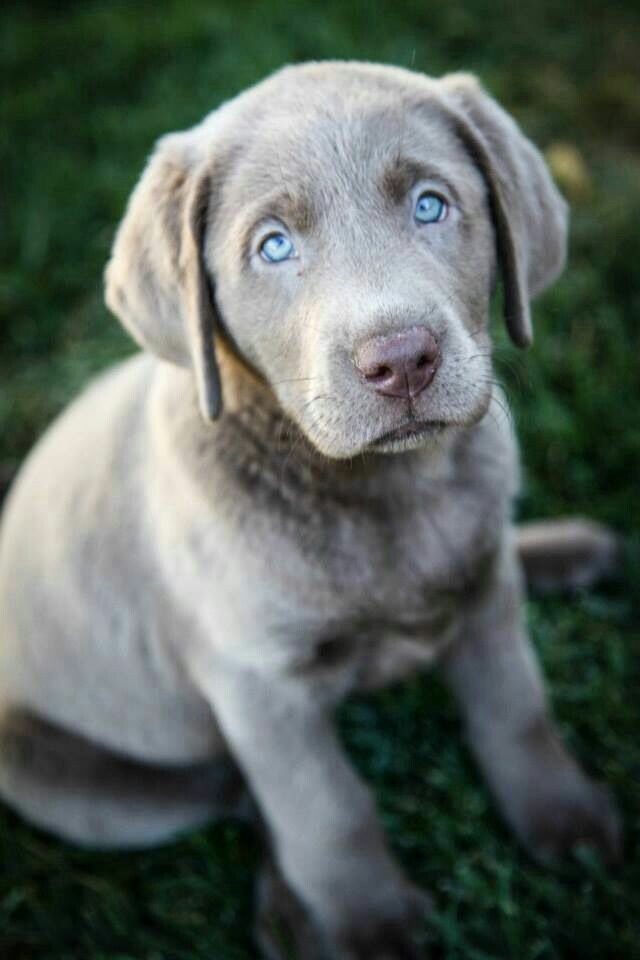 Silver Labrador Lab Puppies Puppies Dog Lovers