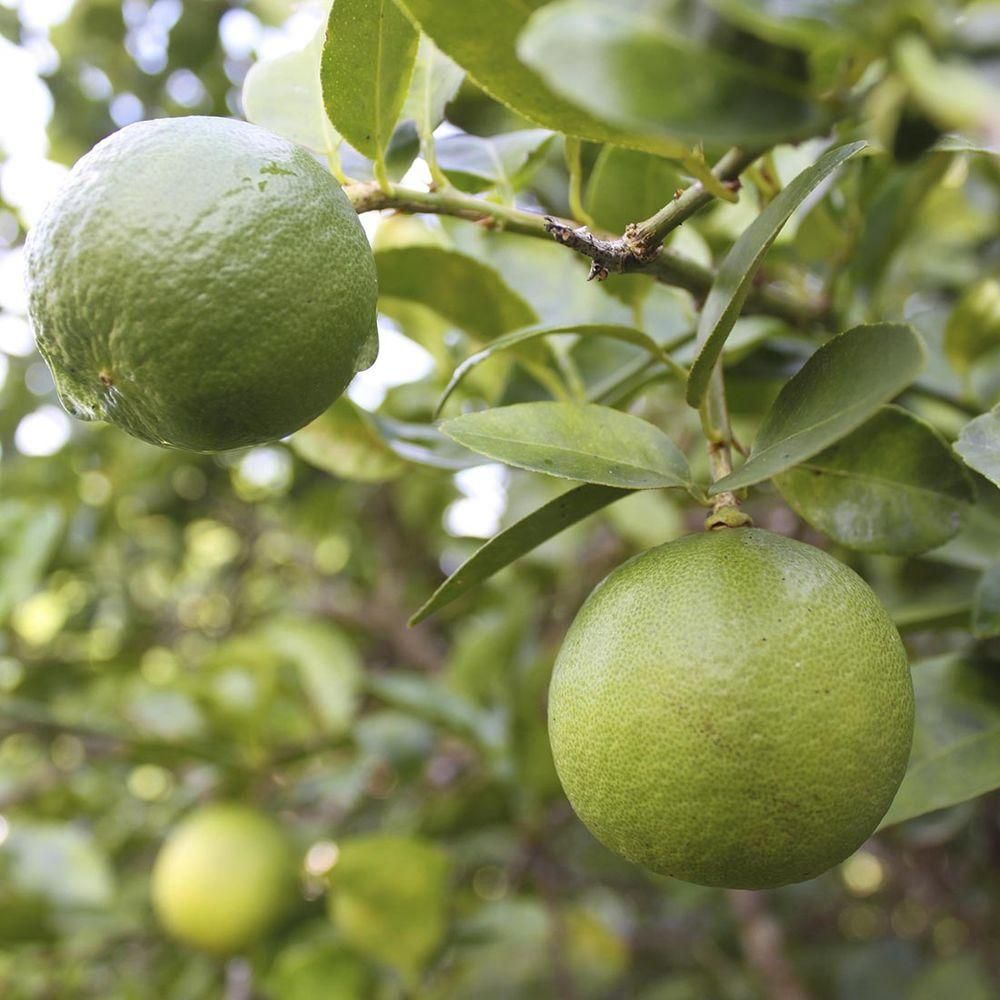 32 in  Tall 1 Year Old Citrus Thorn-Less Key Lime   Products