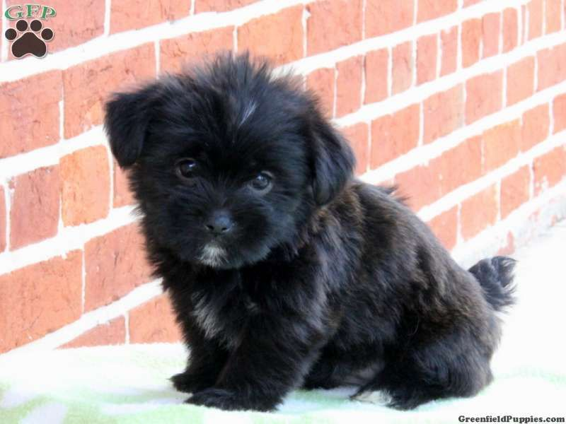 Staffan Shorkie Puppy For Sale From Paradise Pa With Images