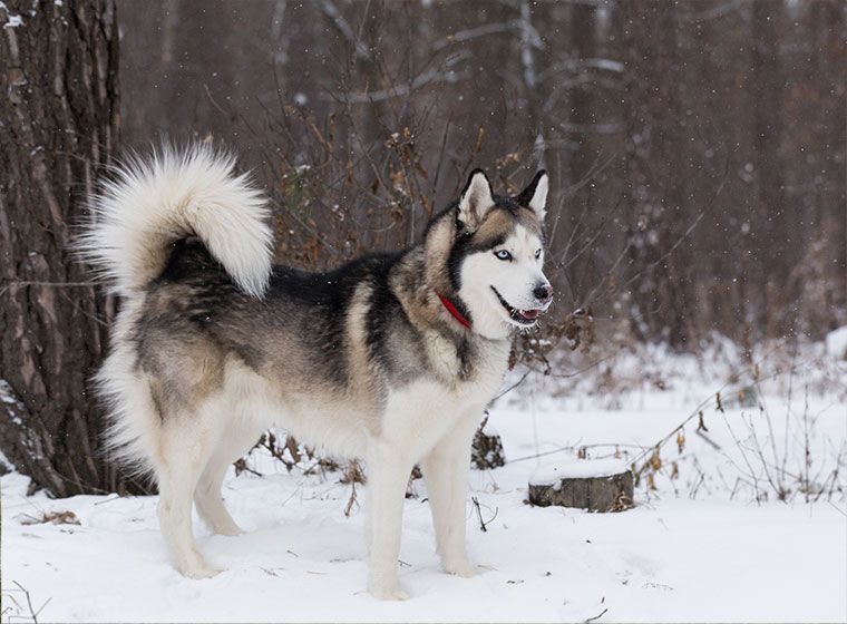 Siberian Husky Im Rasseportrait Sibirischer Husky Heiser Hunde