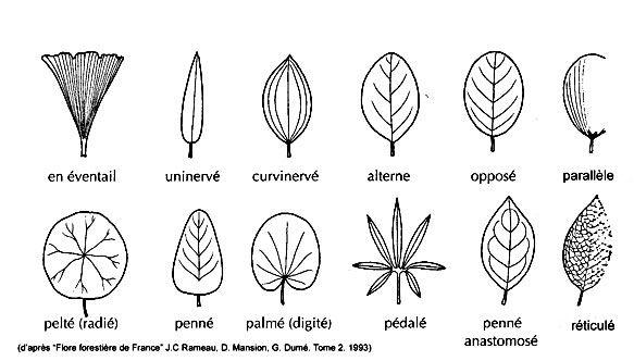 Sch ma des diff rents types de nervation des feuilles for Type de plante