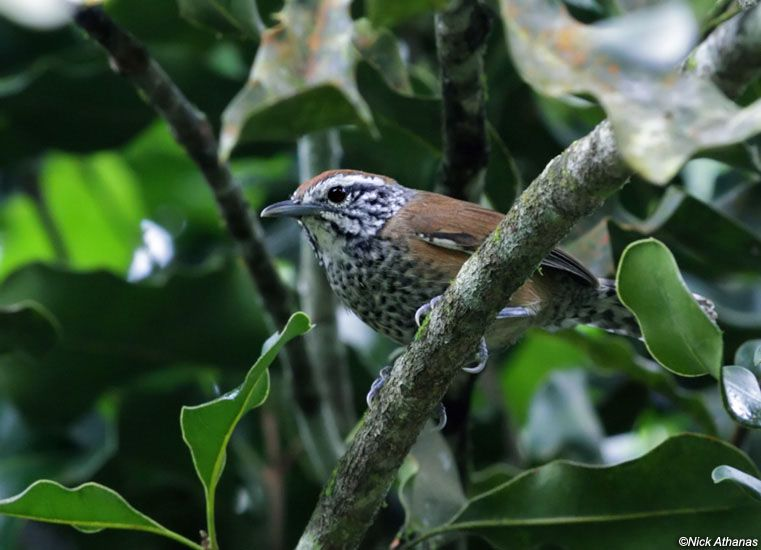 Speckled-breasted Wren (Pheugopedius sclateri) by Nick Athanas.
