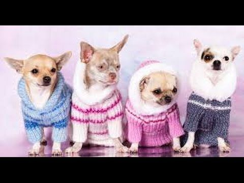 Paso A Paso Como Hacer Ropa Para Perros Chihuahua Ropa
