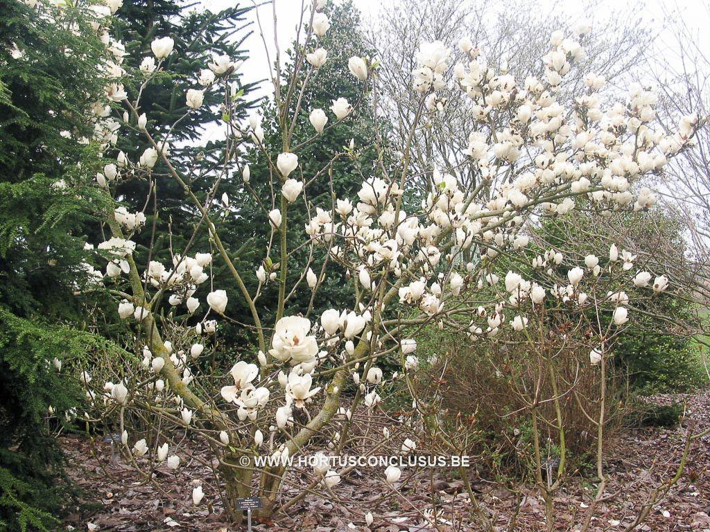 Magnolia X Soulangeana Lennei Alba Sierboom Hortus Conclusus