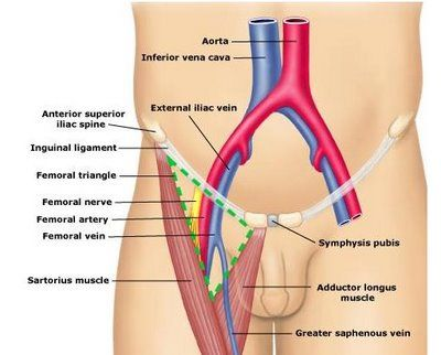 inguinal ligament | mrth | pinterest, Muscles