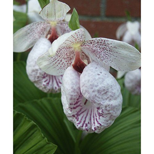 Garden Orchid Cypripedium Formosanum Hardy Formosanum Lady S Slipper Amazon Co Uk Garden Outdoors Botanical Orchids Beautiful Orchids Orchids