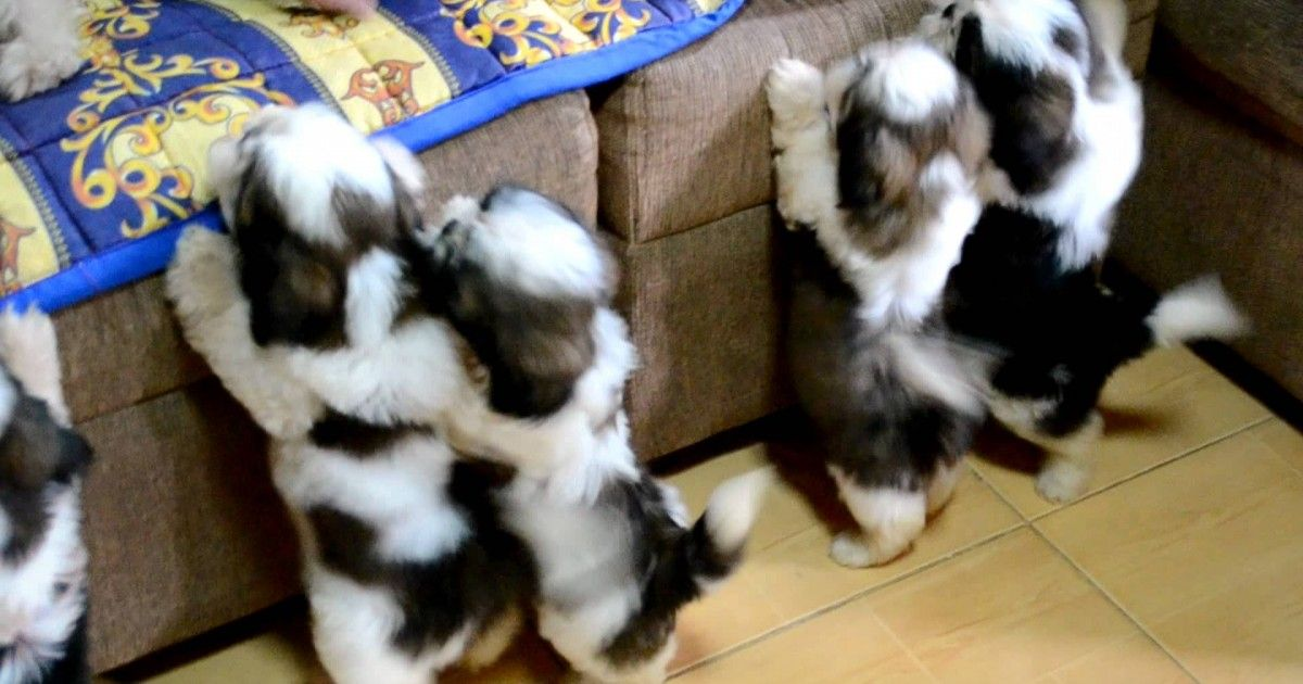This Is Such An Adorable Video Of A Litter Of Shih Tzu Puppies