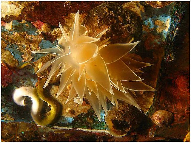 Frosted Nudibranch Seaslug In Puget Sound Photo By Dan Hershman
