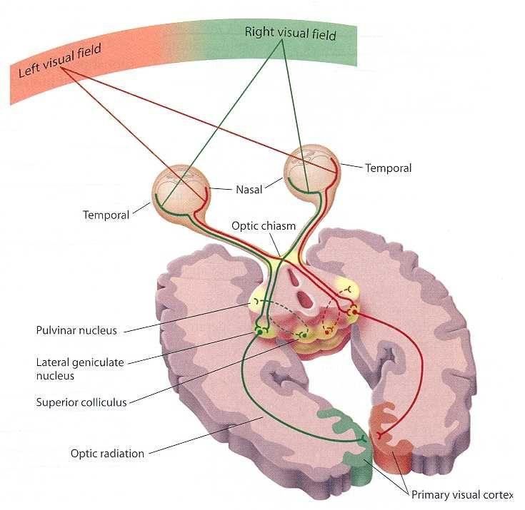 Psychlopedia - Occipital Lobes   The Temple Body   Pinterest ...