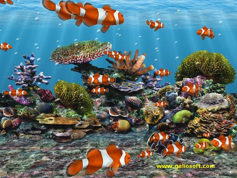 Great Clown Fish Wallpaper Sea Life Wallpaper Fish Wallpaper