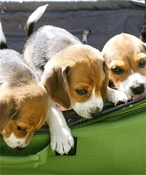 Have A Beagle And Carry On Baby Beagle Beagle Puppy Beagle