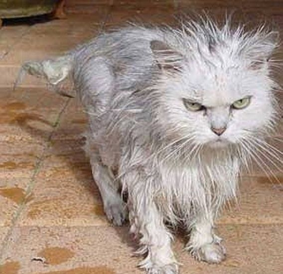 15 Angry Wet Cats With Images Wet Cat Cats Crazy Cats