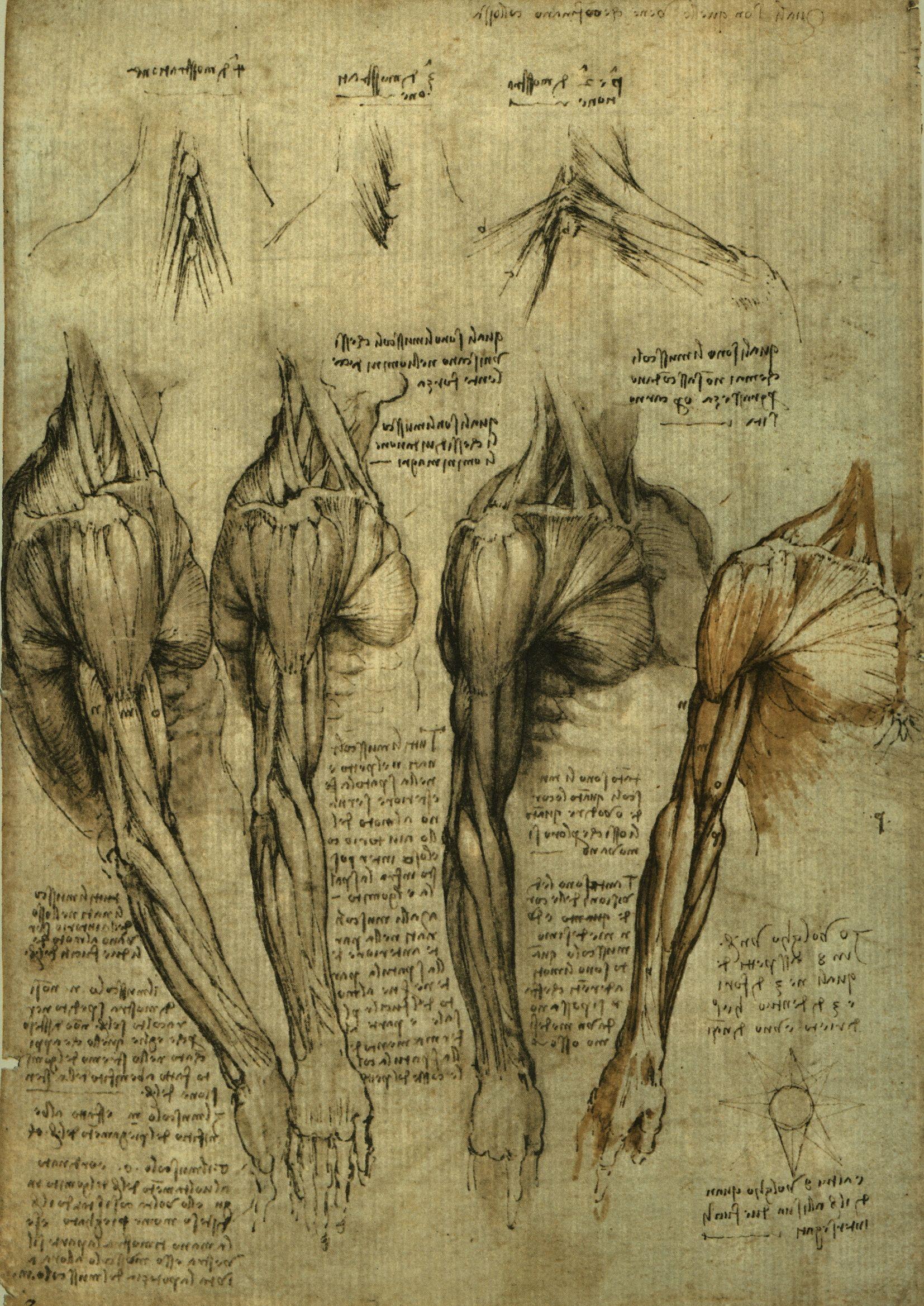 Leonardo analiza las funciones de los músculos del brazo, triceps ...
