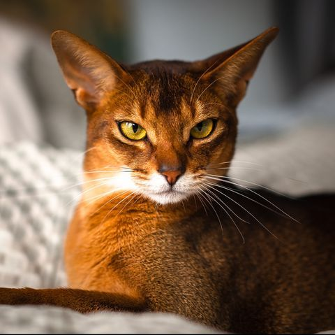 These Cats Are Perfect For People In Apartments and Tiny Homes #catbreeds
